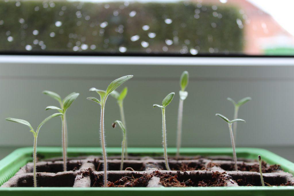 Brotes en semilleros